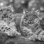 Basler Zoo - Schneeleoparden