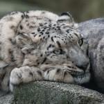 Basler Zoo - Schneeleopard