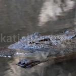 Basler Zoo - Krokodil